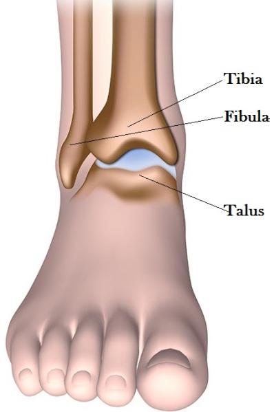 composition de la cheville talus péroné et tibia