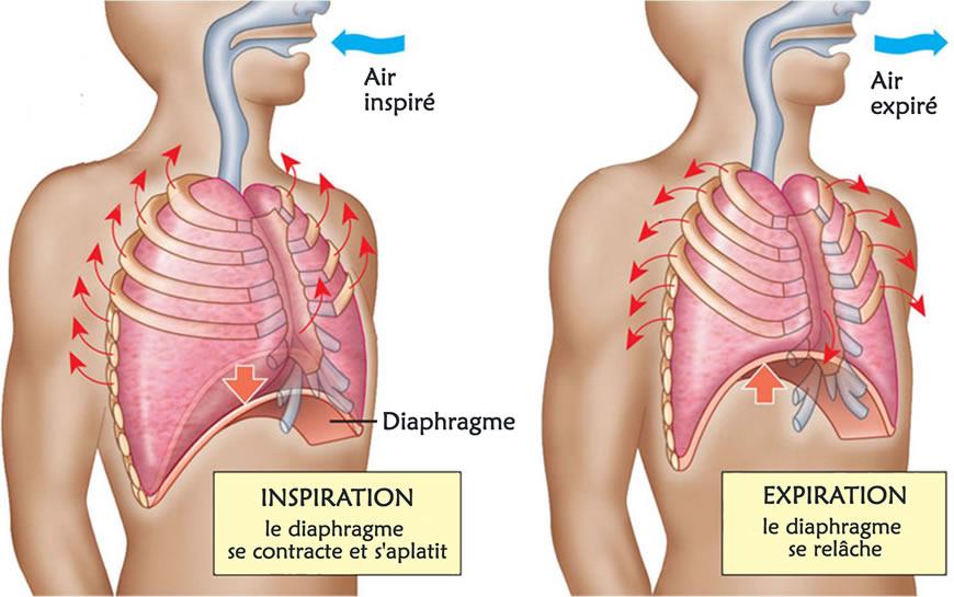 la mobilité du diaphragme expansion de la cage thoracique